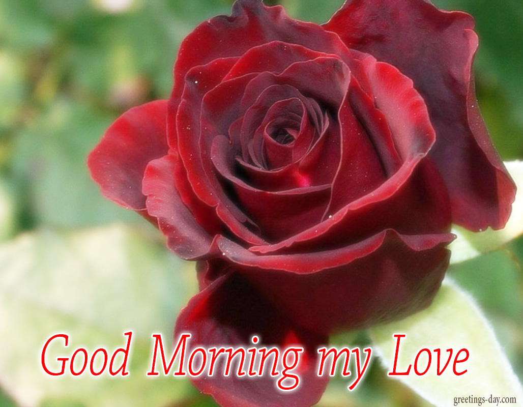 Greeting cards for every day december 2015 - Good morning rose image ...